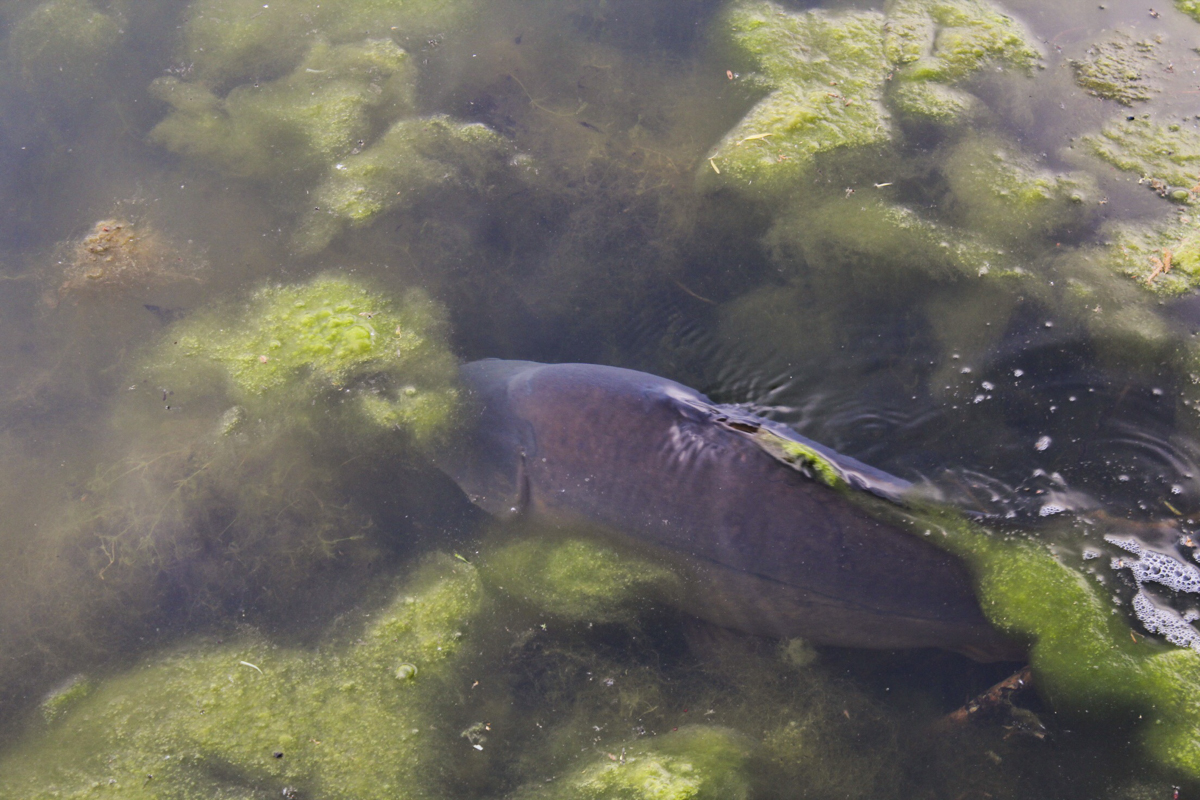 IMG 9166 -  - Tipps, Stalking, Sommertipps, Sommerspots, Sommer, See, Schwimmbrot, Pop-ups, Chod-Rig