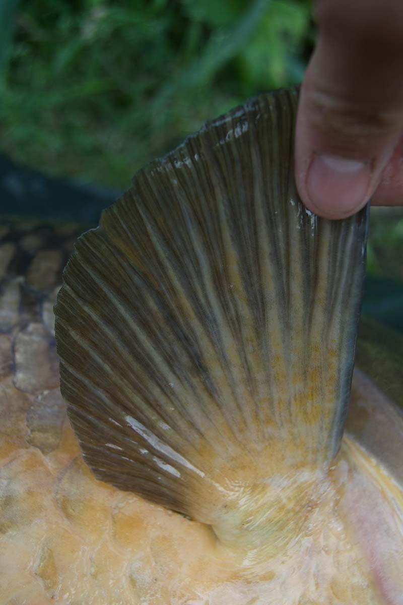 twelvefeetmag karpfenangeln am fluss 3 -  - Karpfenangeln am Fluss, Flussangeln auf Karpfen, Flussangeln, Fluss